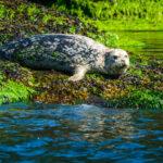 Harbour Seal MMRU