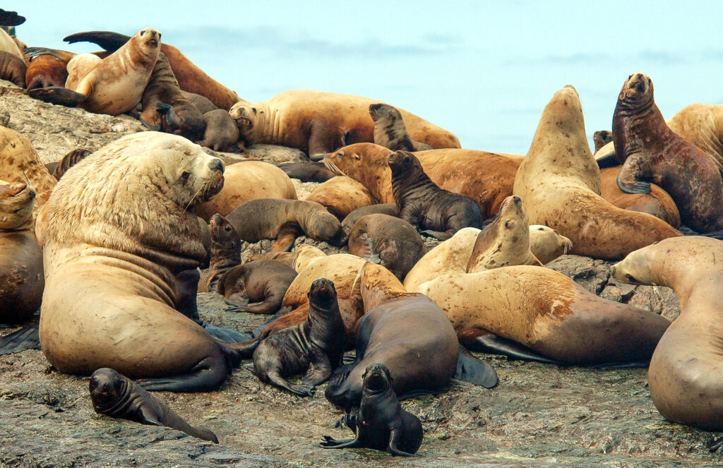 Steller sea lions by Andrew Trites